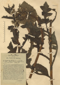 Sonchus asper (L.) Hill subsp. asper