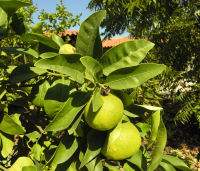 Citrus x aurantifolia (Christm.) Swingle